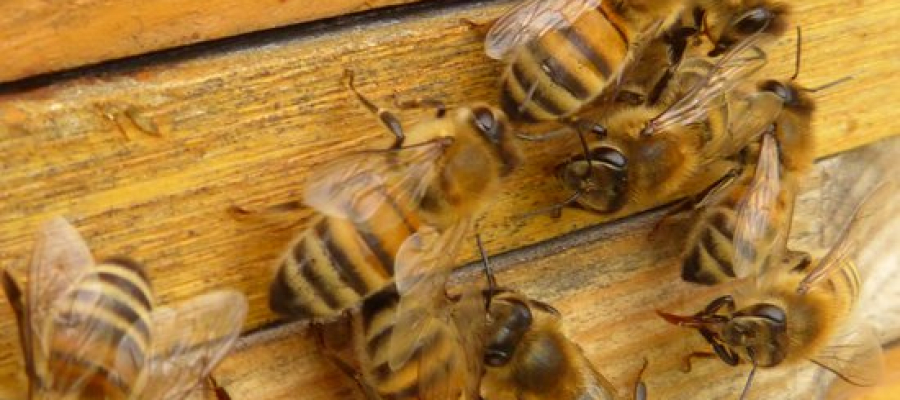 Acidentes com abelhas, como evitar?